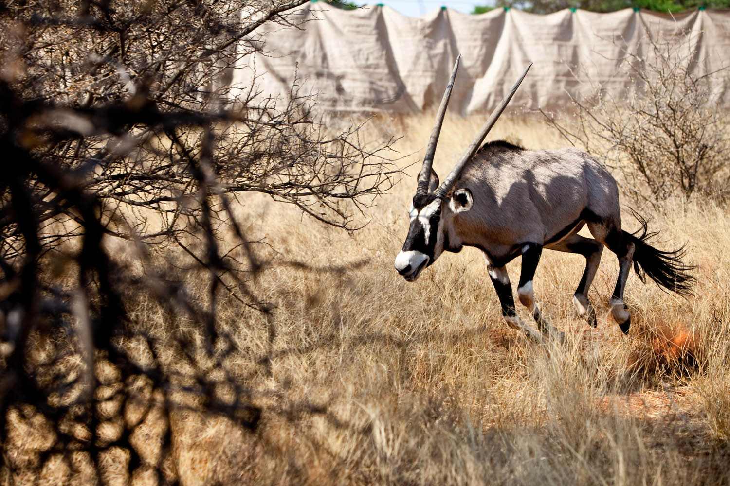 Mokala - Game Capture Story (Northern Cape)
